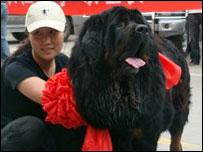 wang dan anjing tibetan mastiff